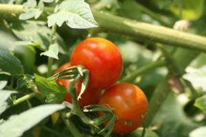Pomidory nie zostaly zmarnowane ... w znakomitej wiekszosci.